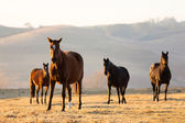 Group of wild horses — Stock Photo