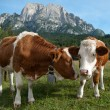 Two young Simmentaler dairy cows — Stock Photo