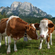 Two young Simmentaler dairy cows — Stockfoto