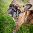 Adorable French Bulldog — Stock Photo
