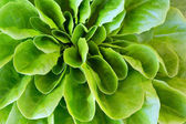 Lettuce head macro — Stock Photo