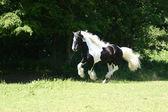 Irish Tinker Horse Stalion — Stock Photo