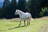 White horse on the meadow. — Stock Photo