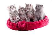集团的小猫. — Φωτογραφία Αρχείου