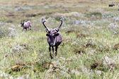Wild deers — Stock Photo