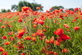 Red poppies. — Stock Photo