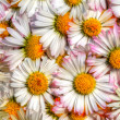 Stock Photo: Daisy texture