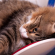 Funny Maine Coon — Stock Photo #18038079