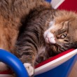 Sleepy Maine Coon Cat — Stock Photo #18038083