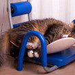 Funny Maine Coon Sleeping - Stock Photo
