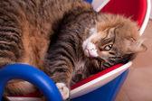 Assonnato gatto di maine coon — Foto Stock