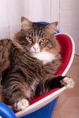 Maine coon katt porträtt — Stockfoto