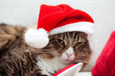 Santa Cat — Stock Photo