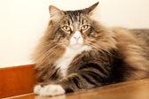 Norwegian Cat Resting — Stock Photo