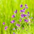 Wildflowers - Campanula Trachelium — Stock Photo