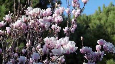 Magnolia Tree In Bloom — Stock Video