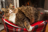 Gatto di Maine coon — Foto Stock