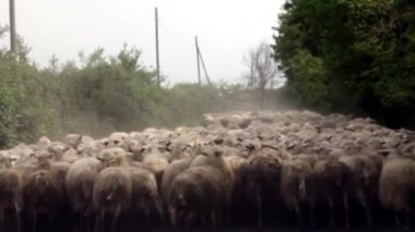 Sheep Herd — Stock Video
