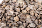 Lupins Clams  — Stock Photo