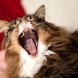 Maine Coon Cat Yawning — Stock Photo