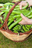 Broad Beans Basket — Stock Photo