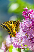 Pretty swallowtail butterfly — Stock Photo