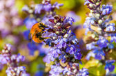 Carder bee foraging on a flower — Stock Photo