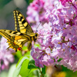 Swallowtail butterfly on lilac — Stock Photo