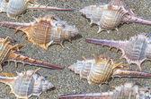 Spiny marine seashells — Stock Photo