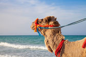 Camel's portrait with sea background — Stock Photo