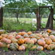 Stock Photo: Harvest pumpkins in the garden