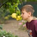 Boy near Quince — Stock Photo #13253451