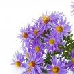 Blue chrysanthemum — Stock Photo #13646633