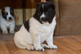 Puppy of the Central Asian sheep-dog — Stock Photo
