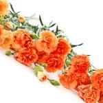 Carnation flowers — Stock Photo #16641311