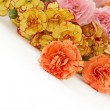 Stock Photo: Carnation flowers