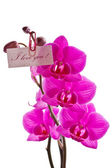 Orchid pink — Stock Photo