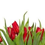 Red tulips — Stock Photo #21356609