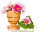 Begonia flowers — Stock Photo