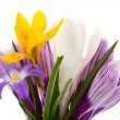 Crocus — Stock Photo #24098375