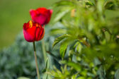 Tulips in spring — Stock Photo