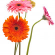Stock Photo: Gerbera