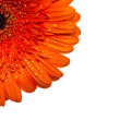 Gerbera — Stock Photo #25698729
