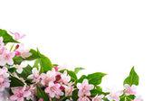 Weigel beautiful blooming flowers — Stock Photo