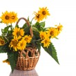 heliopsis — Stock Photo