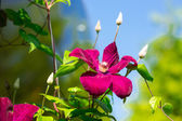 Clematis — Stock Photo