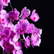 phalaenopsis — Stock Photo #29739059
