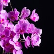 Stock Photo: phalaenopsis