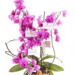 Phalaenopsis — Stock Photo #29739079