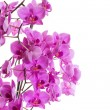 Phalaenopsis — Stock Photo
